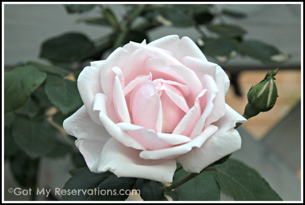 Got My Reservations - New Dawn Rose