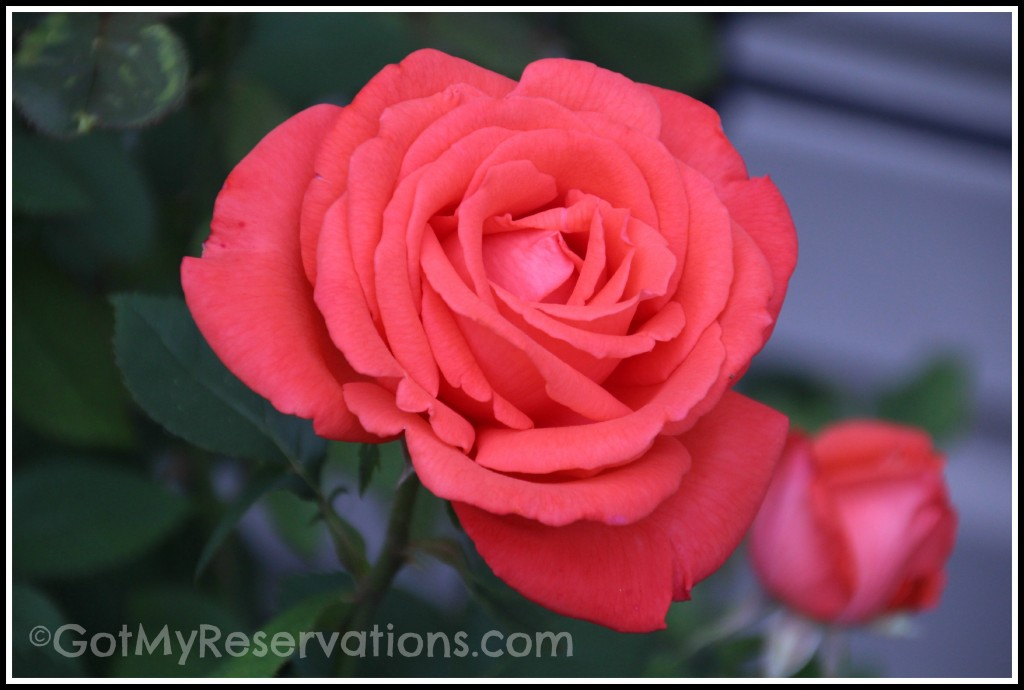 Got My Reservations - Tropicana Rose