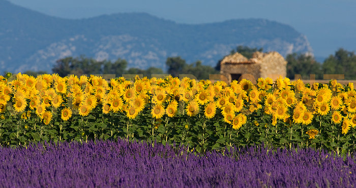 654903-Lavender-and-sunflower-setting-in-Provence-France_view