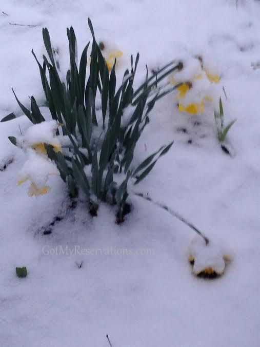GotMyReservations Frozen Daffodils