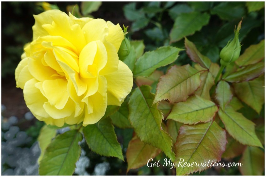 GotMyReservations Yellow Rose