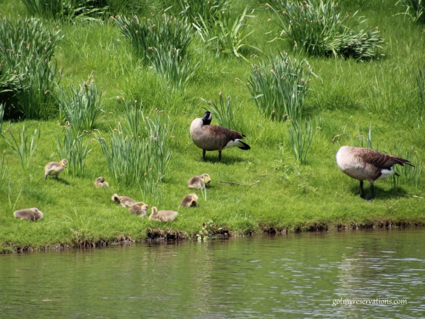 The geese on Daffodil Island are tending their new families.